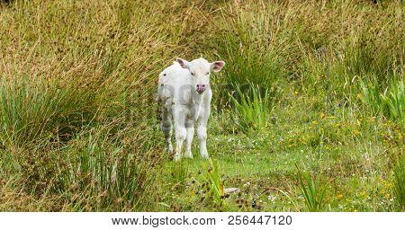 Panorama Naughty Baby Cow On Meadow Ireland