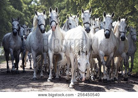 Breeding Of Kladruber Horses. With Its History More Than 400 Years In The Row, Kladruber Horses Repr