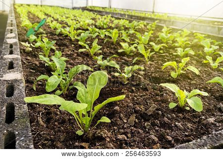 Vegetables Farm Planting Indoor By Non-toxic Organic With Beautiful Green Leafs Are Grown For Salad.