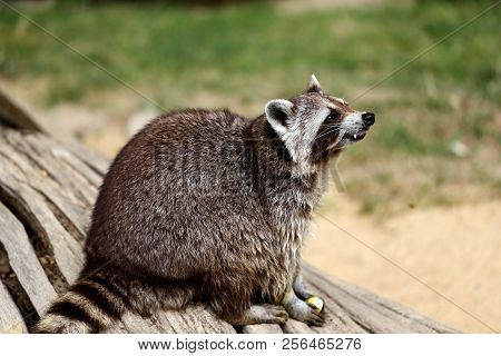 Full Body Of Lotor Common Raccoon (procyon Lotor) On The Tree Trunk. Photography Of Nature And Wildl