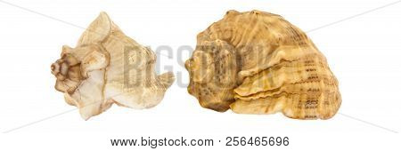 Two seashells of sea shellfish on a white background. Side view. Isolated. poster