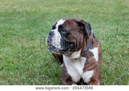 Brindle boxer puppy is lying in the green grass. Pet animals. poster
