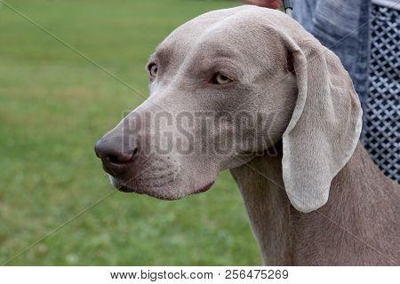 Cute gray weimaraner vorstehhund close up. Pet animals. poster