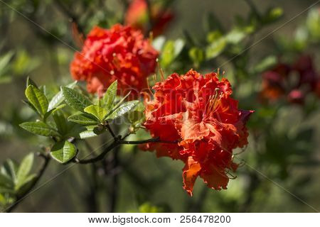 Rhododendron Bush During Flowering. Beautiful Red Rhododendron Flowers On The Background Of The Gard