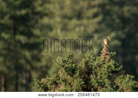 Male Stonechat (saxicola Torquata) Sitting High Up On A Gorse Bush In The New Forest, England Uk On