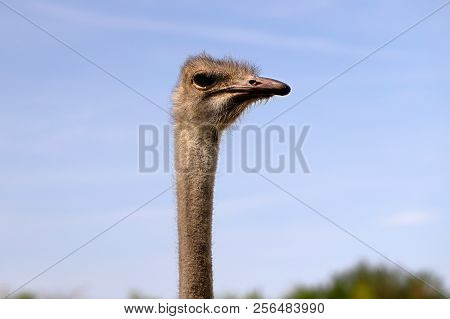 Close-up Of Head Details South African Female Common Ostrich (struthio Camelus). Photography Of Natu
