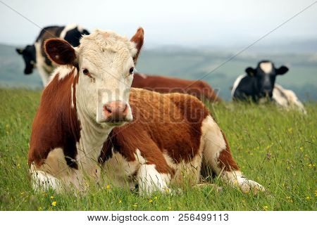 Hereford Cow Lying Down With Other Friesian Cattle On A Hilltop Pasture Field With Misty Background