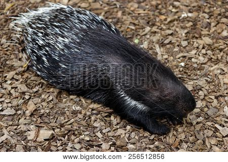Full Body Of Crested Porcupine (hystrix Cristata). Photography Of Nature And Wildlife.