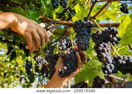 Harvesting In The Vineyards. A Man's Hand With A Pruner Cuts A Bunch Of Black Wine Grapes From The V