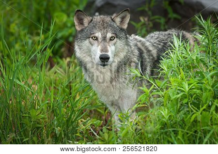Grey Wolf (canis Lupus) Looks Out Intently From Grasses - Captive Animal