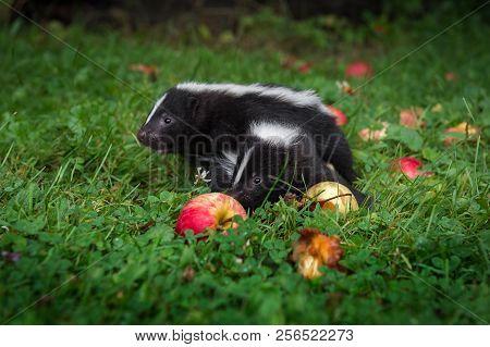 Striped Skunk (mephitis Mephitis) Kits Sniff At Apples - Captive Animals