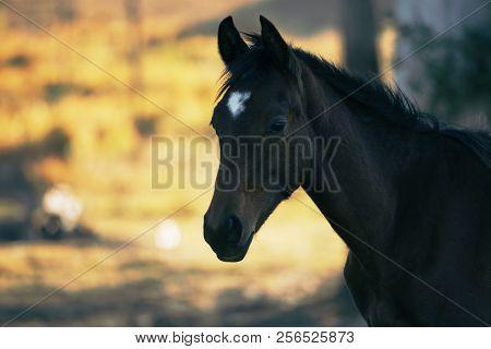 Australian Horse In The Paddock