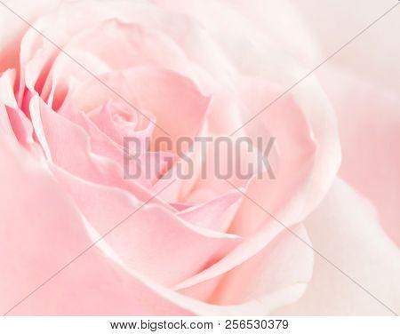 Studio shot of a light pink rose