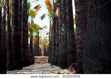 Black Burned Stem Of Palm Trees After Fire. Pathway, Footpath Along Palm Trees Trunks. Unusual Scene