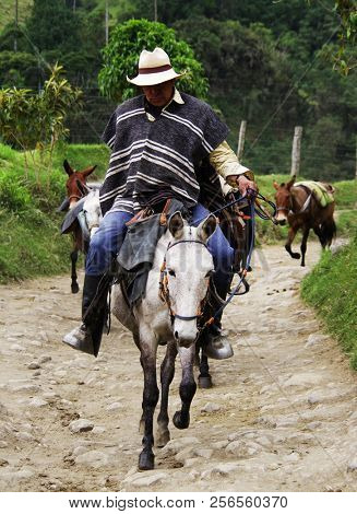 SALENTO, COCORA VALLEY, AUGUST 17, 2018: Touristic horse caravan in Cocora valley, Cordiliera Central, Salento, Colombia, South America