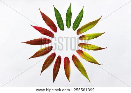 Gradient Colored Leaves Arranged In A Circle. Autumn Leaf Coloration. Autumn Colors - Chlorophyll, A