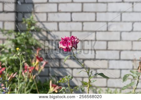 Watering Flowers In Garden. Woman Gardener Watering Plants In Summer Garden. Close Up Of Beautiful R