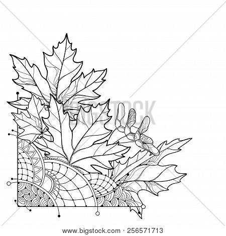 Vector Corner Bouquet With Outline Acer Or Maple Ornate Leaves In Black Isolated On White Background