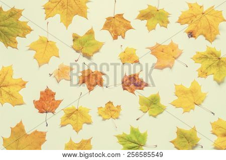 Fall background. Seasonal fall yellowed maple leaves on the white background. Fall seasonal composition