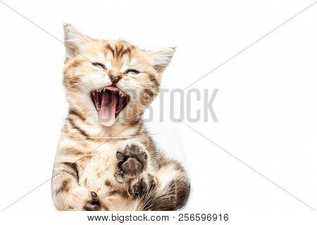 British Short Hair Kitten In Bowl.
