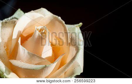 Natural Macro Rose Background.