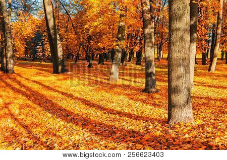 Fall landscape of sunny fall park in nice weather. Spreading fall trees with fallen fall leaves on the ground. Fall nature landscape. Colorful fall landscape scene