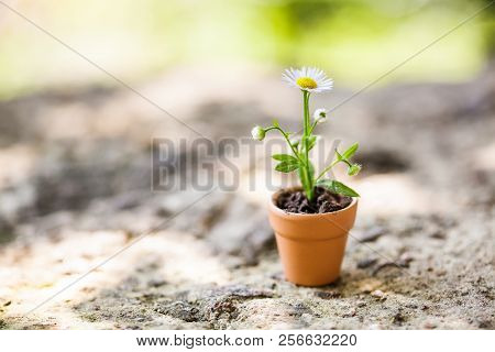Chamomile Flower In Brown Clay Pot On Stone Background. Summer Time Floristic Still Life Photo. Shal