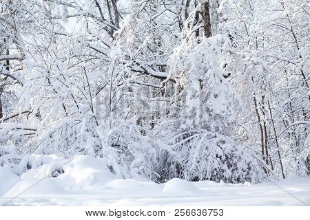 Snowy Winter Weather Scene, Snow Covered Trees Landscape. Snowfall In The Forest