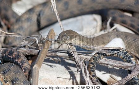 Elaphe Dione, Commonly Known As Dione's Ratsnake, The Steppe Ratsnake, Or The Steppes Ratsnake, Is A