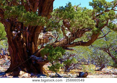 White Pine Tree Also Known As The Twisted Pine Which Has Been Weathered By Harsh Winds And Snow With