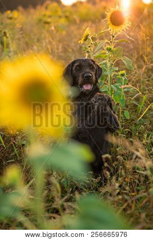 Black mutt dog posing in sunflower field during sunset. poster