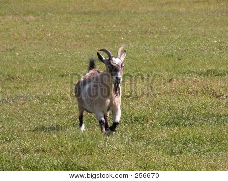Goat On The Run