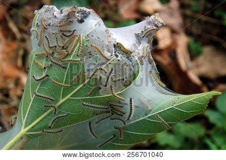 Leaves of the tree covered with the crawler cobweb poster