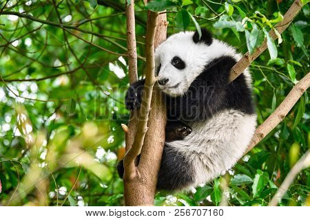 Chinese tourist symbol and attraction - cute giant panda bear cub on tree. Chengdu, Sichuan, China
