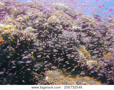 View Of The Corals And Picnic Seabream In The Red Sea