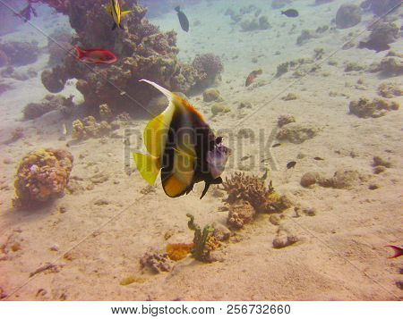 View Of The Corals, Redfin Batfish And Anthias Fish In The Red Sea