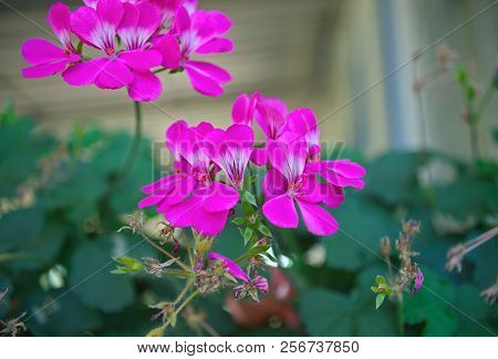 Small houseplant image photo free trial bigstock small houseplant blooming with pink flowers closeup mightylinksfo