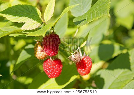 Ripe Wild Forest Raspberries On The Summer Sun