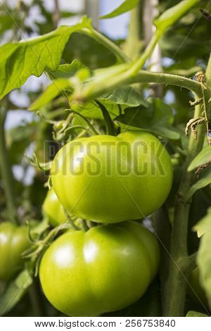 Bunch Of Green Tomatoes Growing In Greenhouse