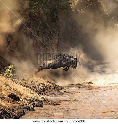 Wildebeest cross the Mara River during the Great Migration. Every year approximately one and a half million wildebeest make this trecherous journey between Tanzania and Kenya
