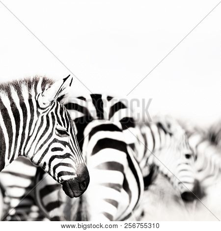 Zebre herd with shallow depth of field. High key black and white processing.