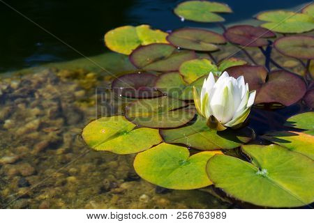 Beautiful White Water Lily Bloom, Natural Swimming Pool, Relaxation Meditation