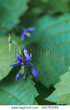 Solanum Dulcamara, Also Known As Bittersweet, Bittersweet Nightshade, Bitter Nightshade, Blue Bindwe