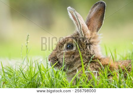 Brown Rabbit Hiding In Green Grass In The Spring Looking Cute With Fluffy Tall Ears