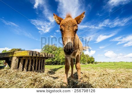 Cute Mule Standing In A Farm Yard With Hay In The Summer Under A Blue Sky