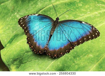 Beautiful Blue Morpho Butterfly On A Leaf (morpho Peleides).