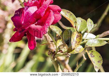Plant Disease, Fungal Leaves Spot Disease On Rose Bush Causes The Damage. Blight, Aphid, Mushroom Ma
