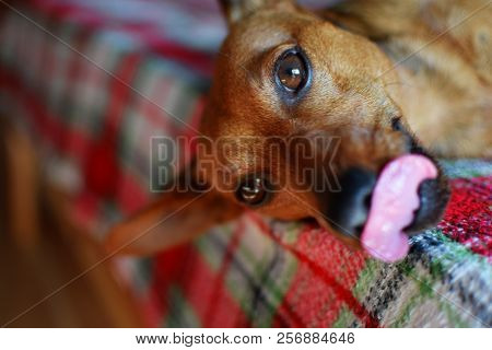 Brown Dog Miniature Pinscher Relaxing On Checkered Blanket In Bed Looking At Camera And Licks His To