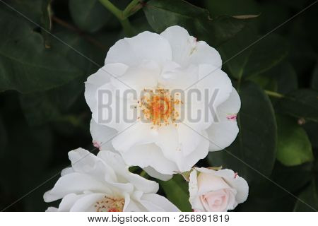 Rose Type Maria Mathilde In Close-up In The Public Rosarium Of Boskoop In The Netherlands.