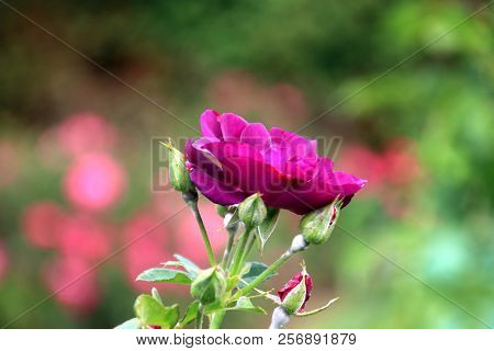 Purple Rose Type Rhapsody In Blue In Close-up In The Public Rosarium Of Boskoop In The Netherlands.